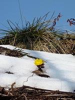 木崎湖の福寿草