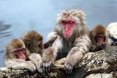 Jigokudani Monkey Hot Springs